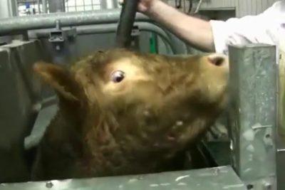 Rinderschlachtung