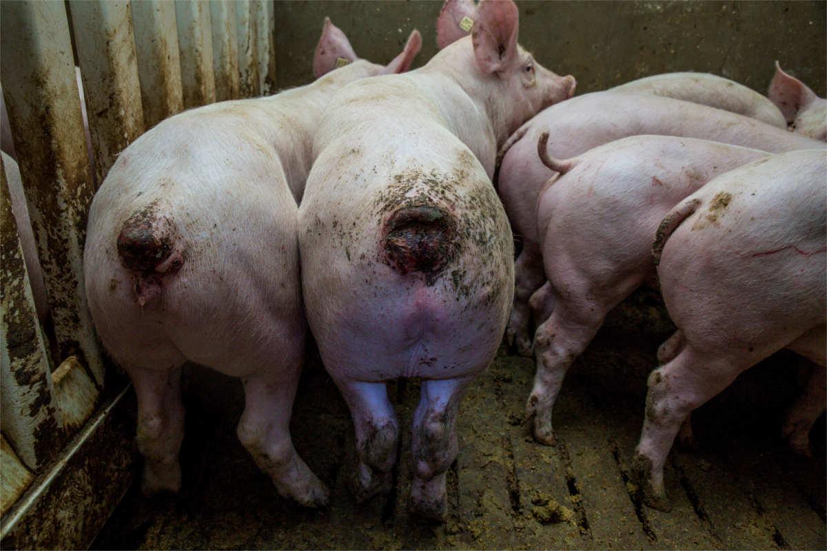 Schweine mit angefressenen Schwänzen