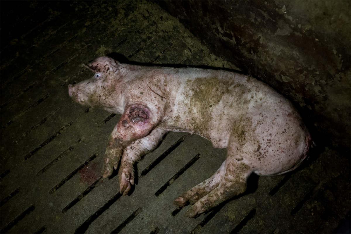 lebendes Schwein mit großer Wunde