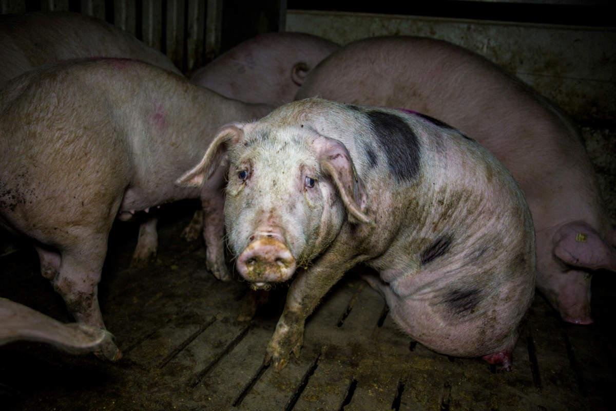 Schwein in Hundesitz und traurigem Blick