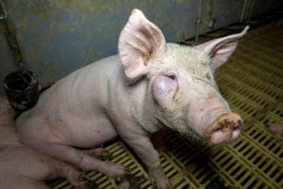 Schwein mit Geschwühr im Gesicht