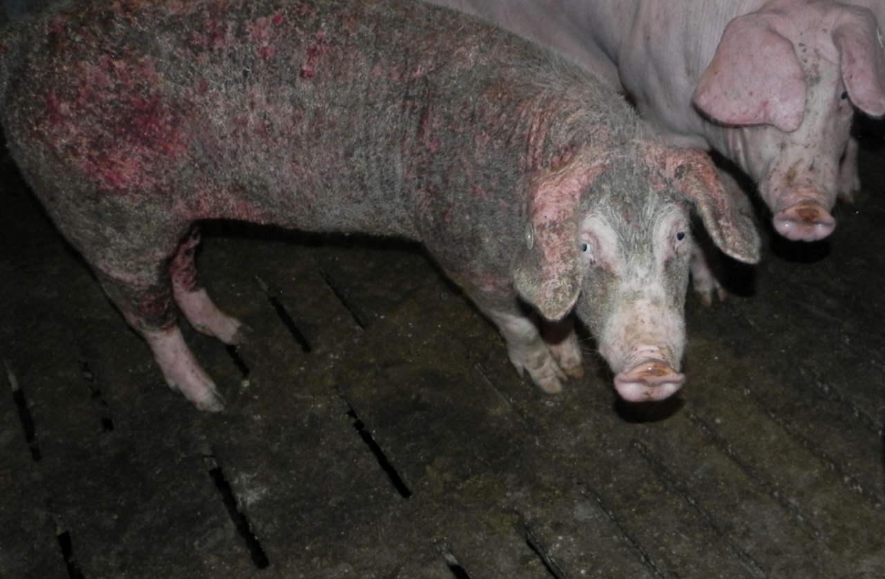 Schwein mit starker Hautkrankheit
