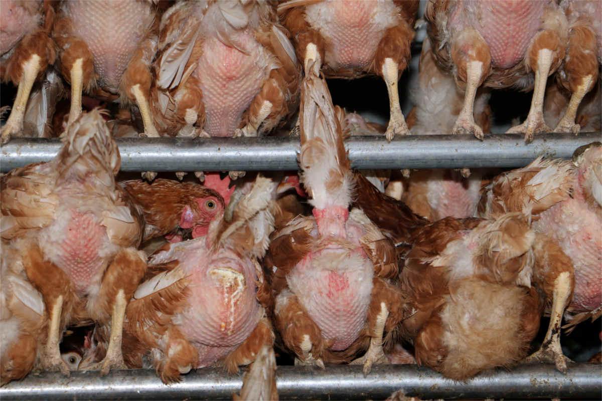 Kahle Hennen in Biolandbetrieb