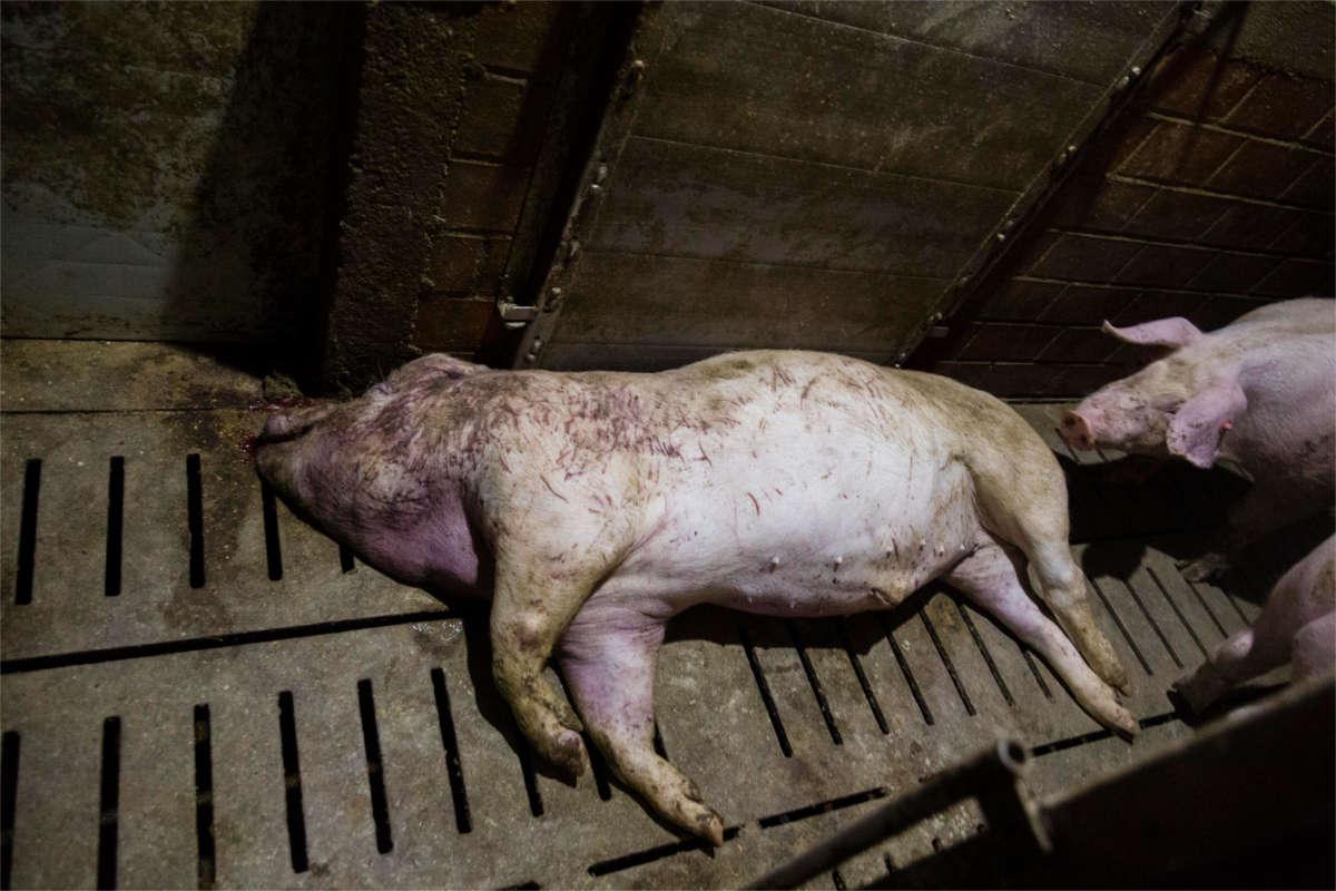 Totes Schwein
