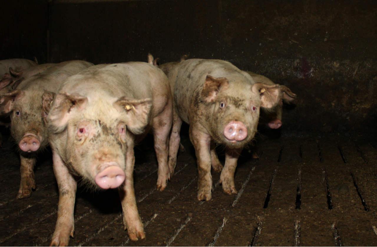 Schweine mit entzündeten Augen