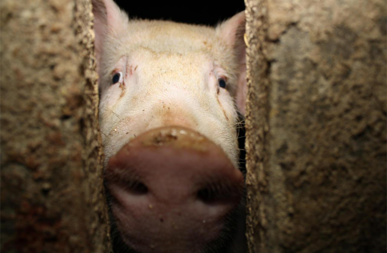 Schwein in der Mast
