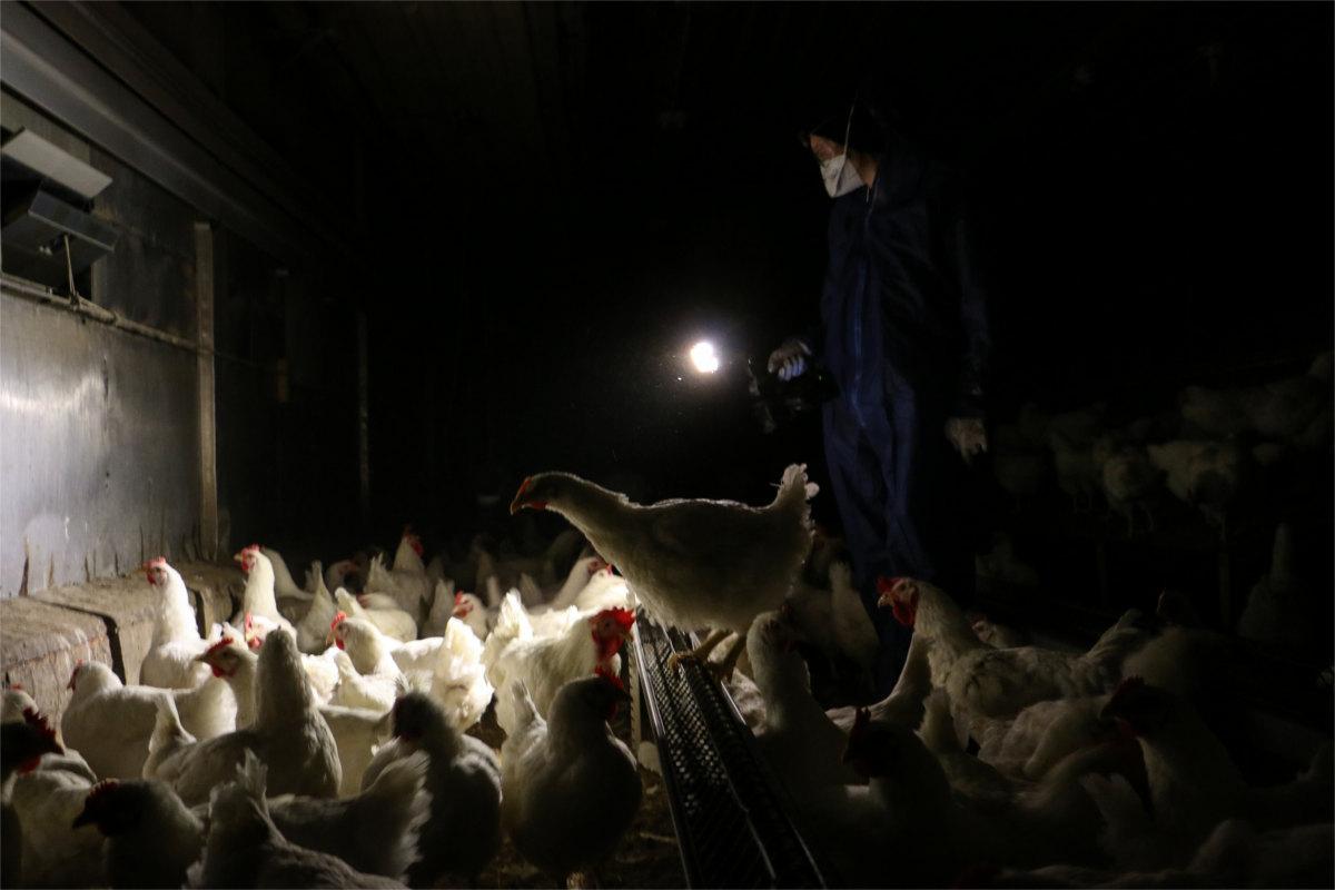 AktivistIn filmt Hühner