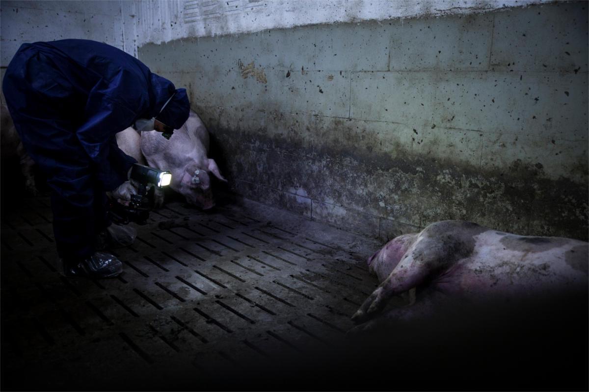 AktivistIn filmt Schweine