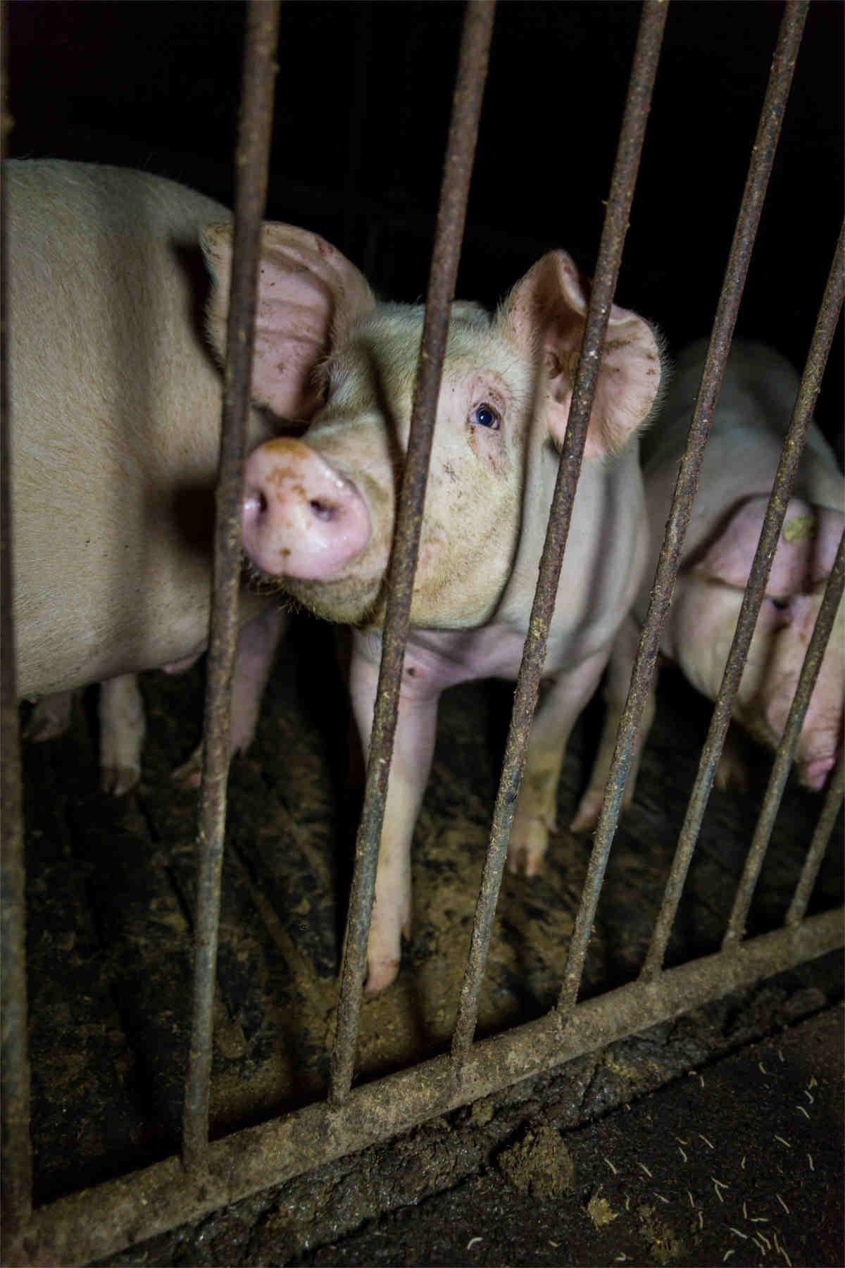 Schwein in Mast