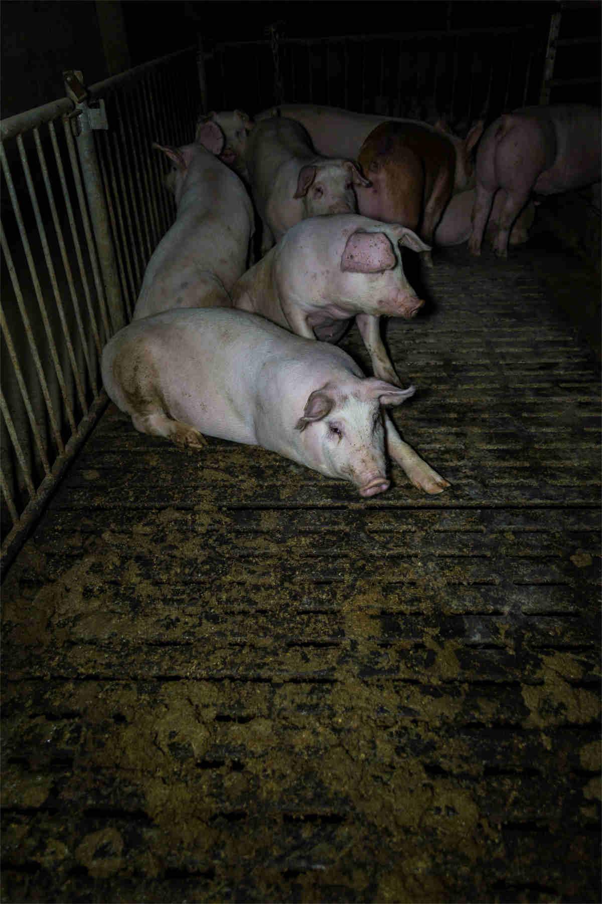 Schweine auf verkotetem Boden