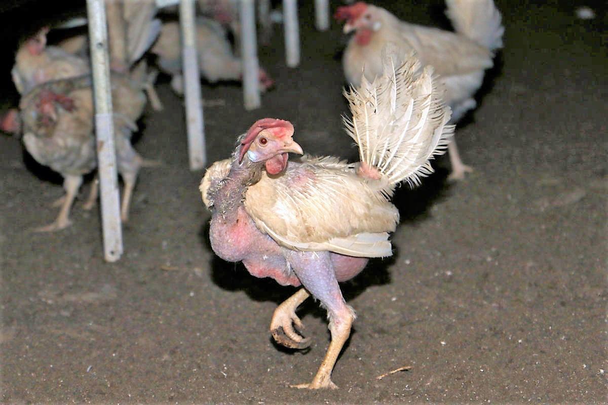 kahle Hennen in Bodenhaltung