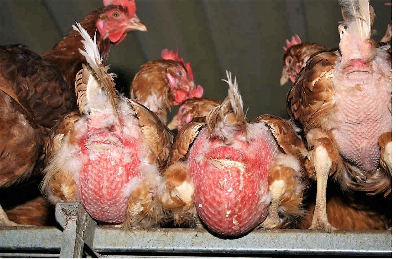 kahle Hennen in der Eierproduktion
