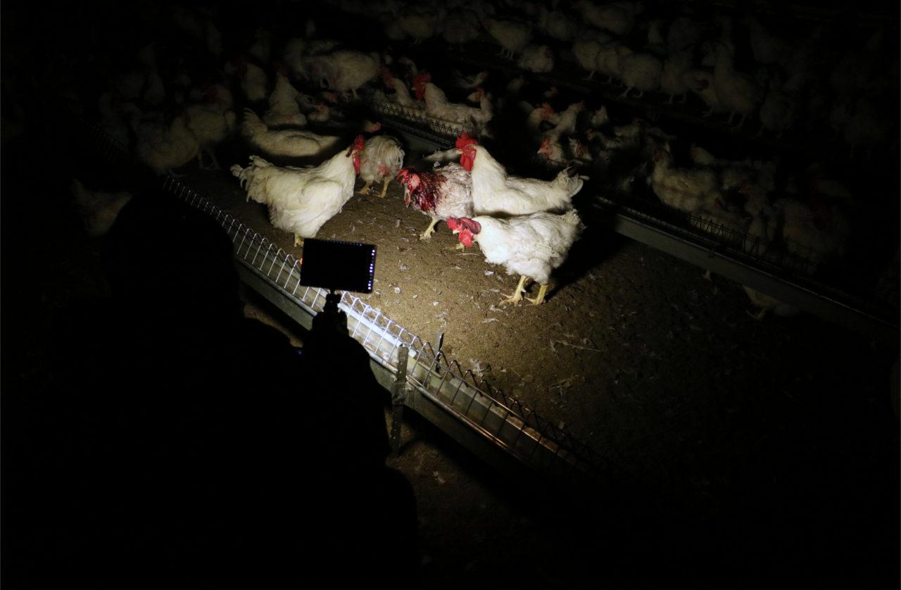 Aktivistin filmt Elterntiere für Masthühner