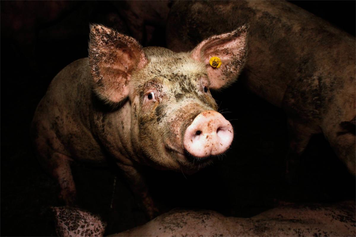 verdrecktes Schwein