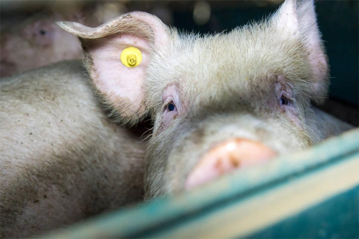 Schwein blickt in die Kamera