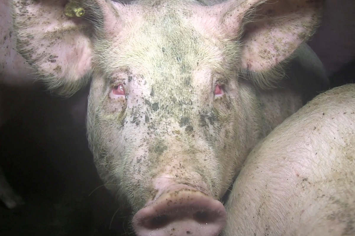 Schwein mit eitrigen Augen