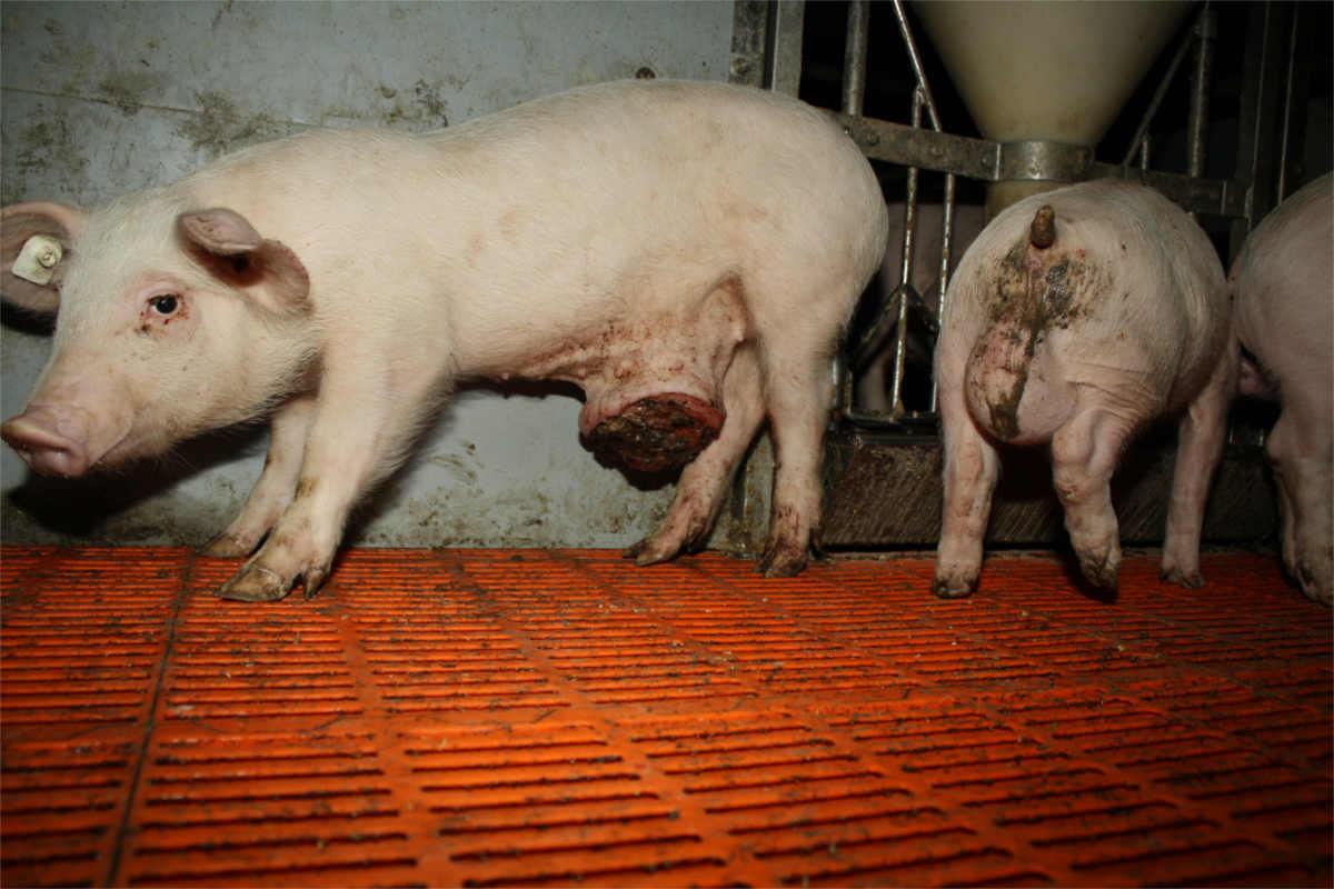 Schwein mit entzündetem Nabelbruch