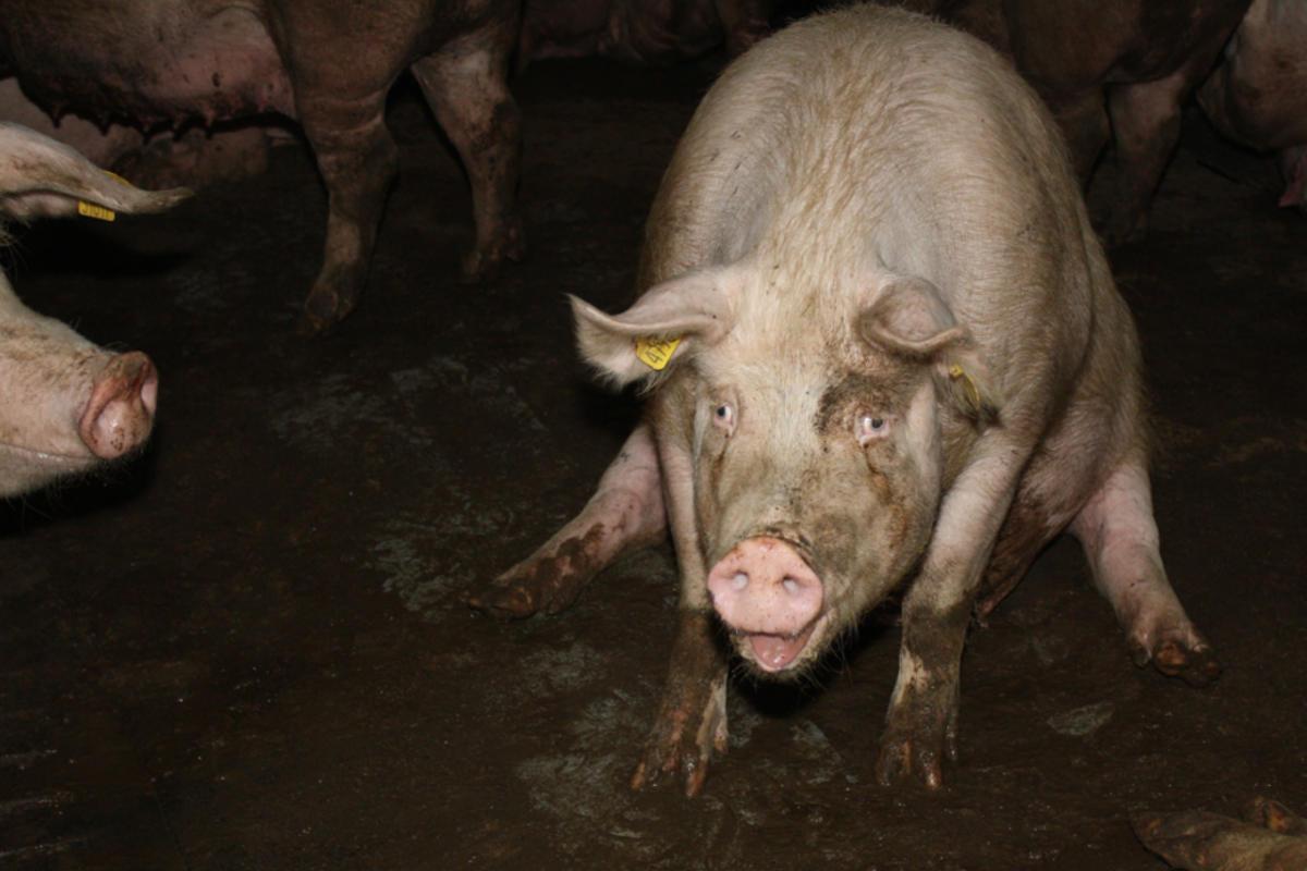 Schwein in verdreckter Bucht