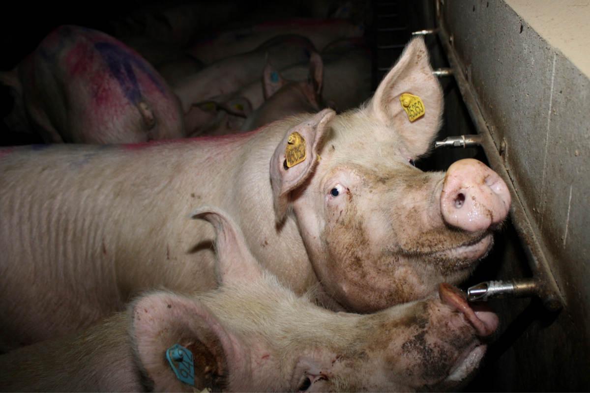 Schweine in Mast von Adrian Straathof