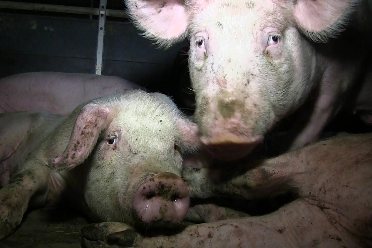 Schweinestall mit Tierschutzbund-Label