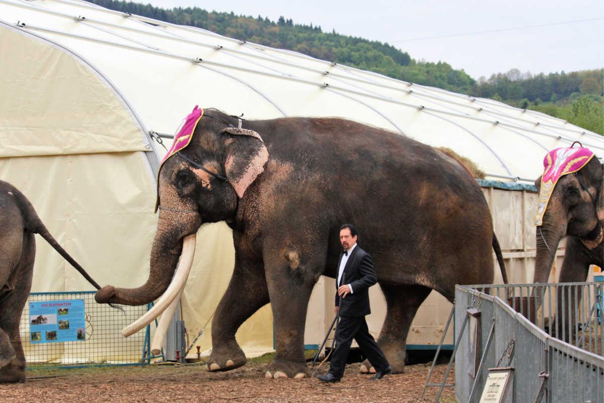 Zirkus Elefanten