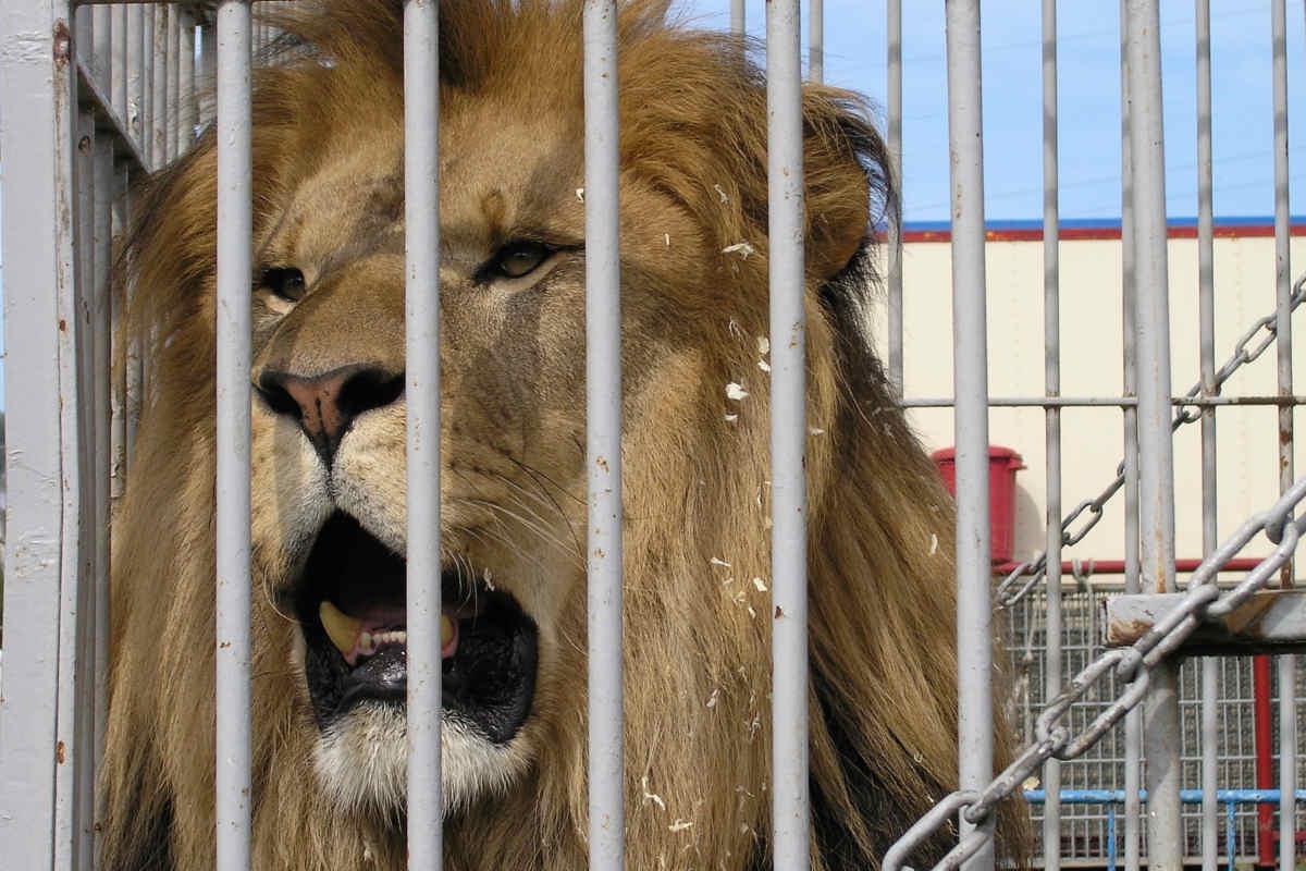 Zirkus Löwe