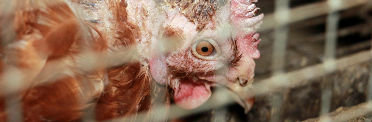 Huhn hinter Draht