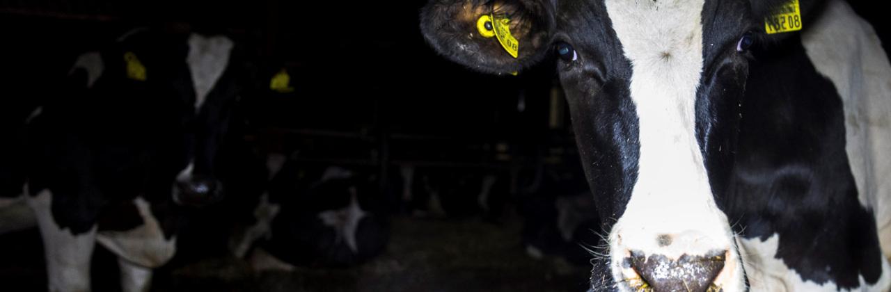 Rinder in der Milchindustrie