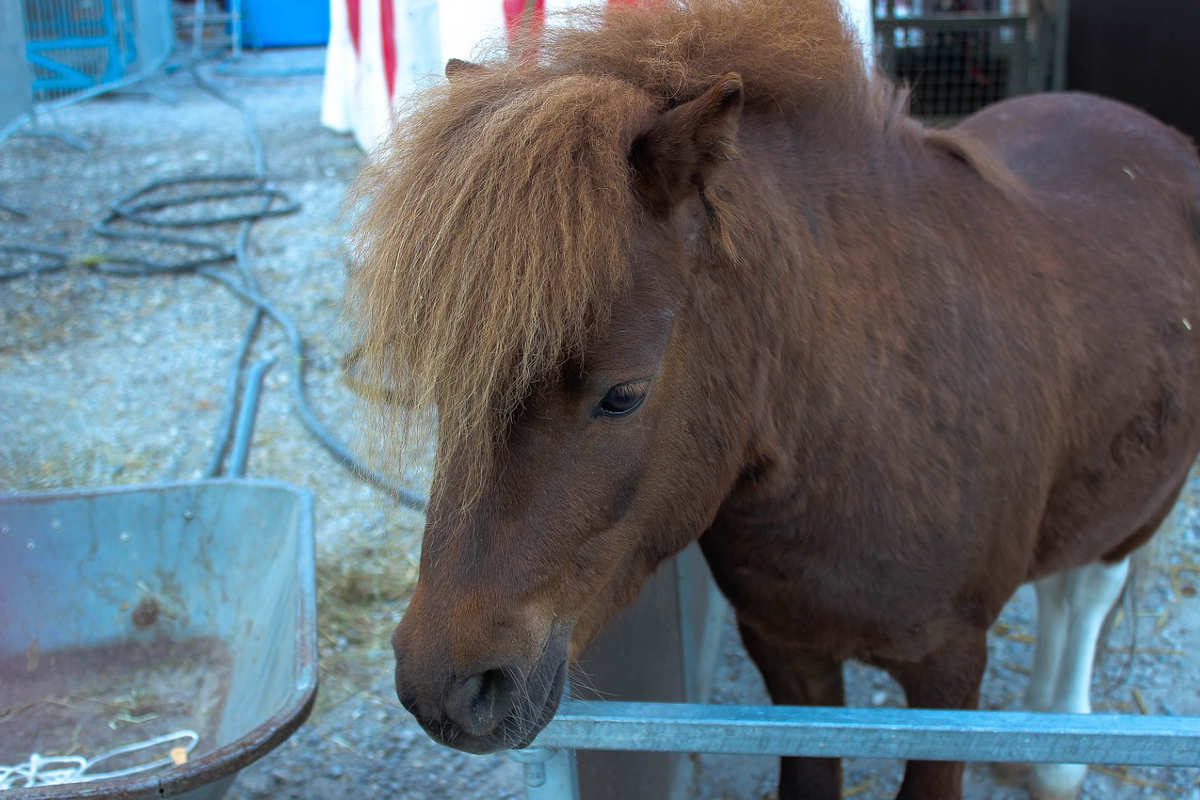 Zirkus-Ponny