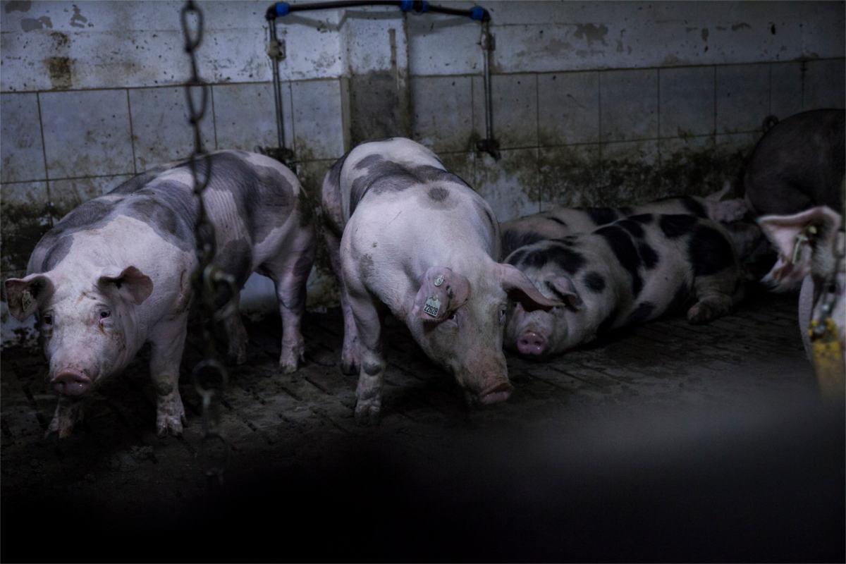 Schweine in der Mast