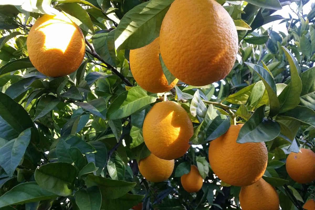 bio-vegane Orangen