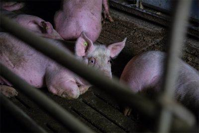 Schweinemast Schwein