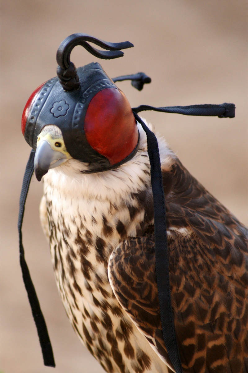 Falke mit Kopfhaube