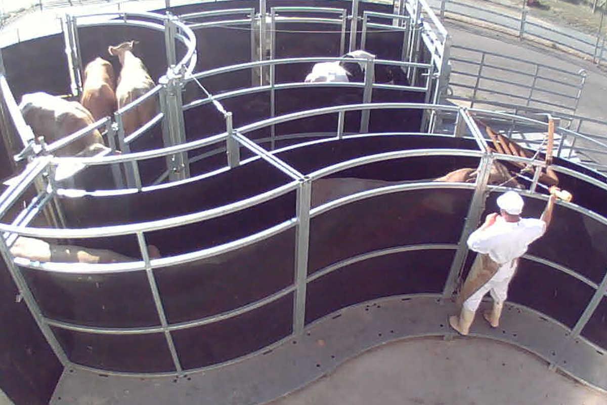 Rind wird in Schlachthof getrieben