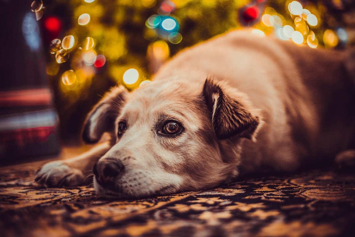 Hunde sind keine Weihnachtsgeschenke