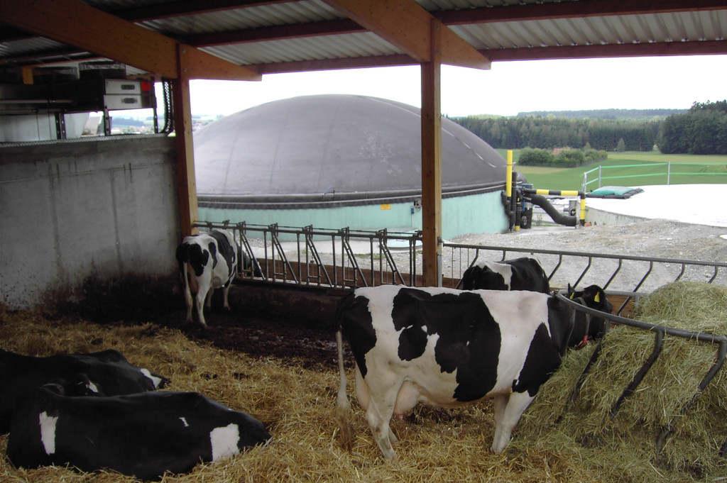 Kühe im offenene Stall