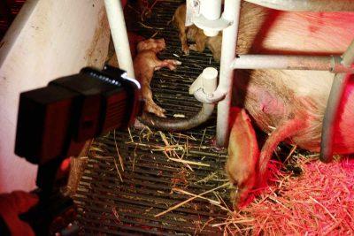 totes Ferkle in Bioland-Schweinezucht