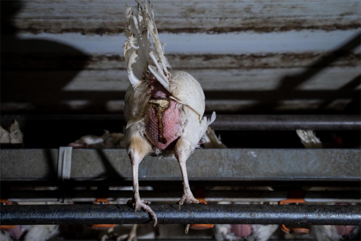 Bio-Henne mit Eileiterentzündung