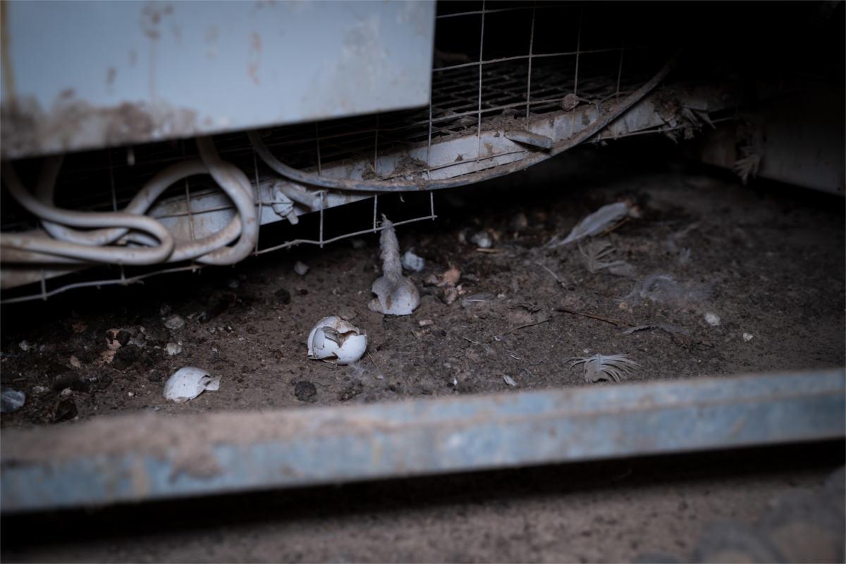 zerbrochene Eier in Bio-Hennen-Anlage