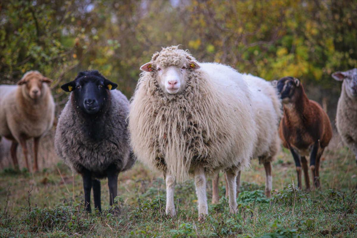 Schafe im Land der Tiere
