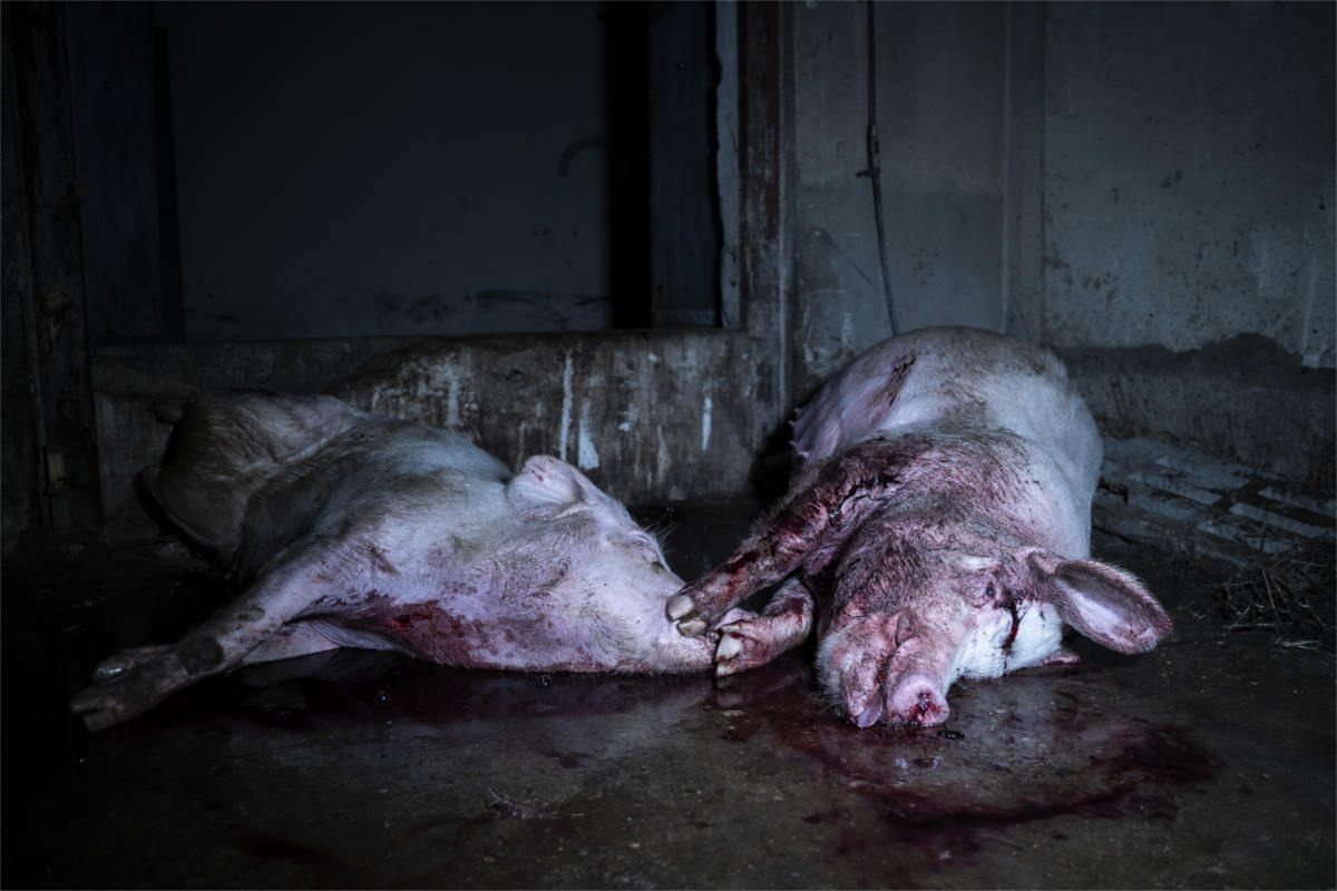 tote Sauen in der Schweinezucht