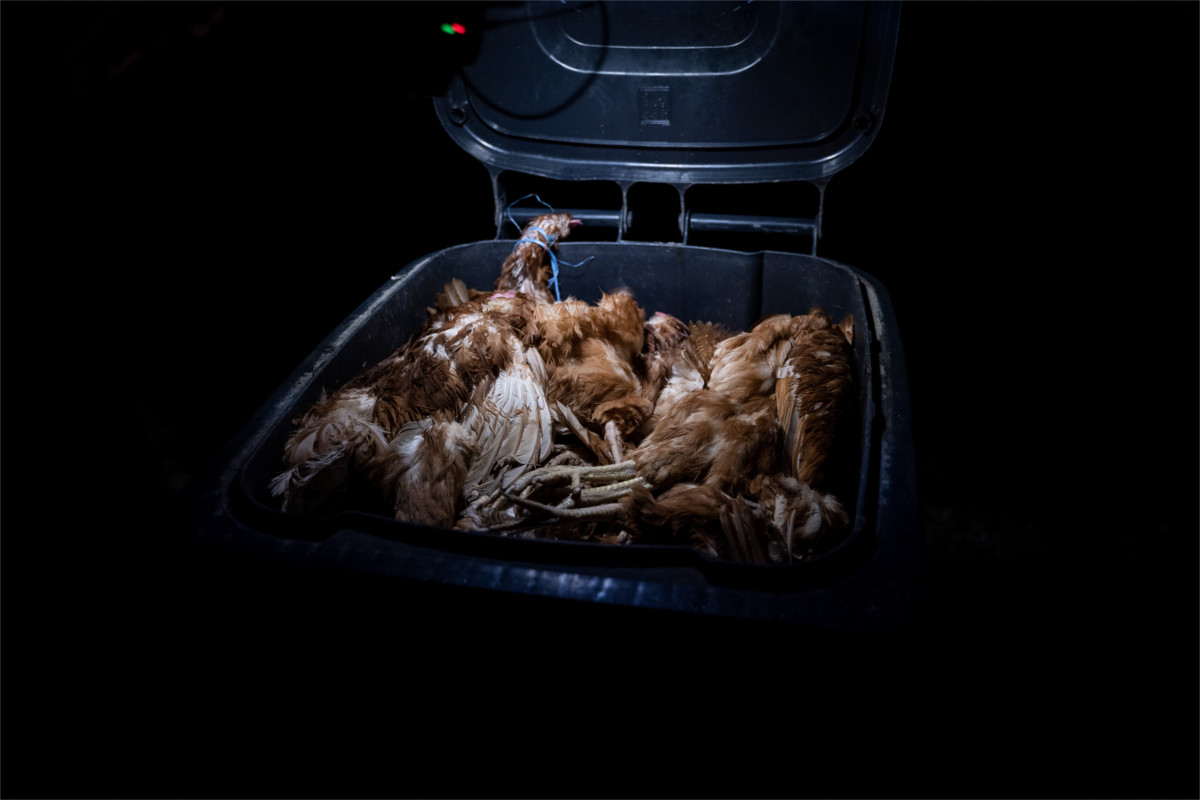 Kadavertonne mit toten Hennen