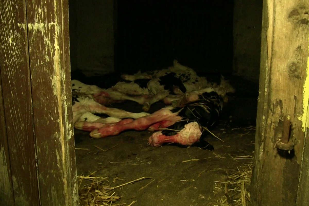Kadaverhaus mit toten Kälbern