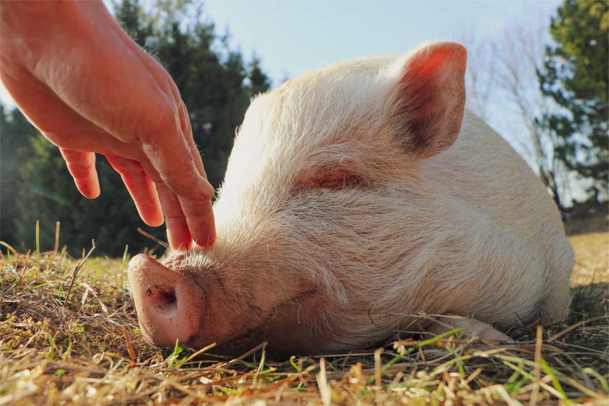 Schwein wird gekrault