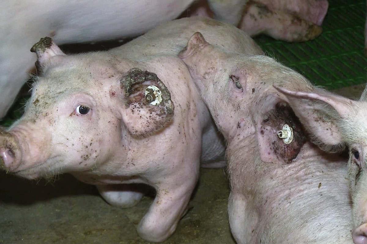 Schwein mit blutig gebissenne Ohren