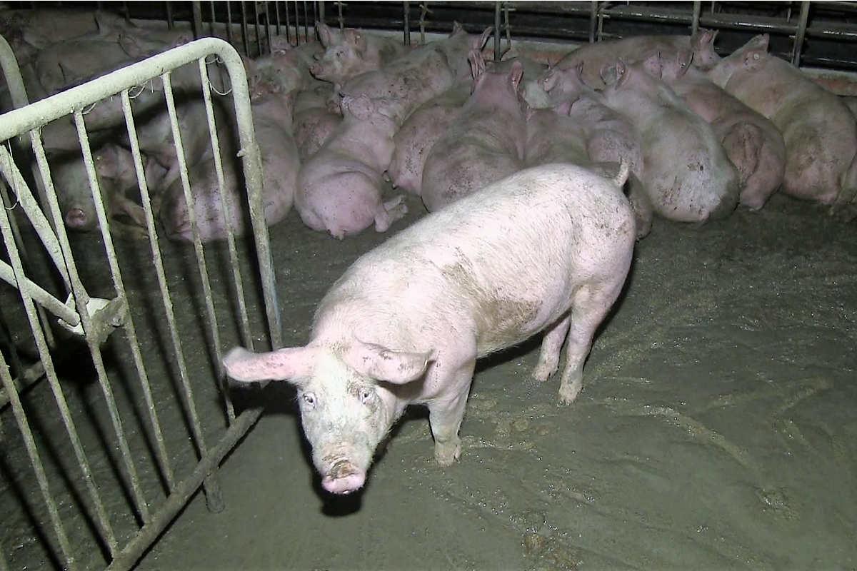 Schweine im eigenen Kot